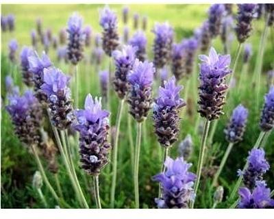Parfum for pour and melt soap Lavender