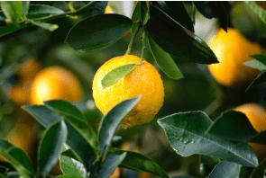Fragrance oil Lemon twist